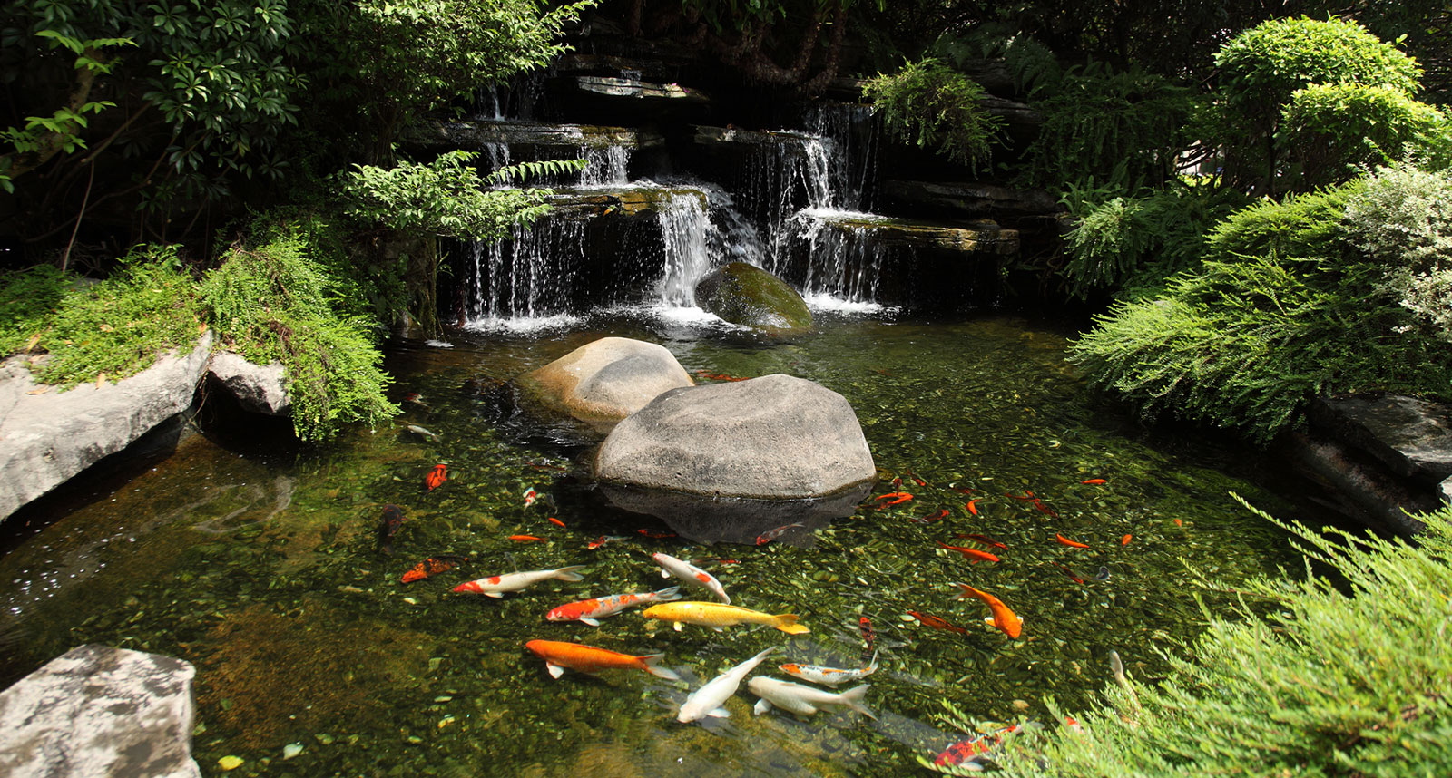 Keep your koi pond free from algae