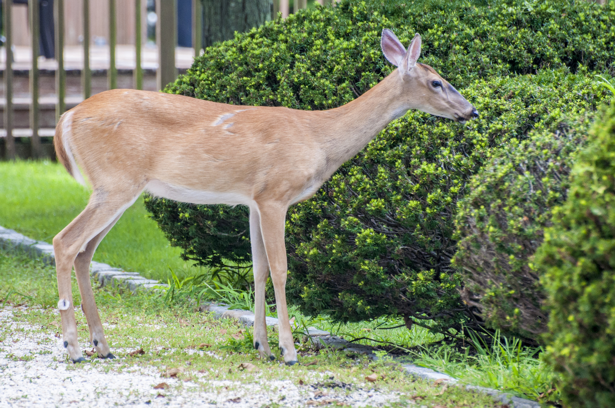 Deer Resistant Plants For The Pacific Northwest Levy S Lawns And