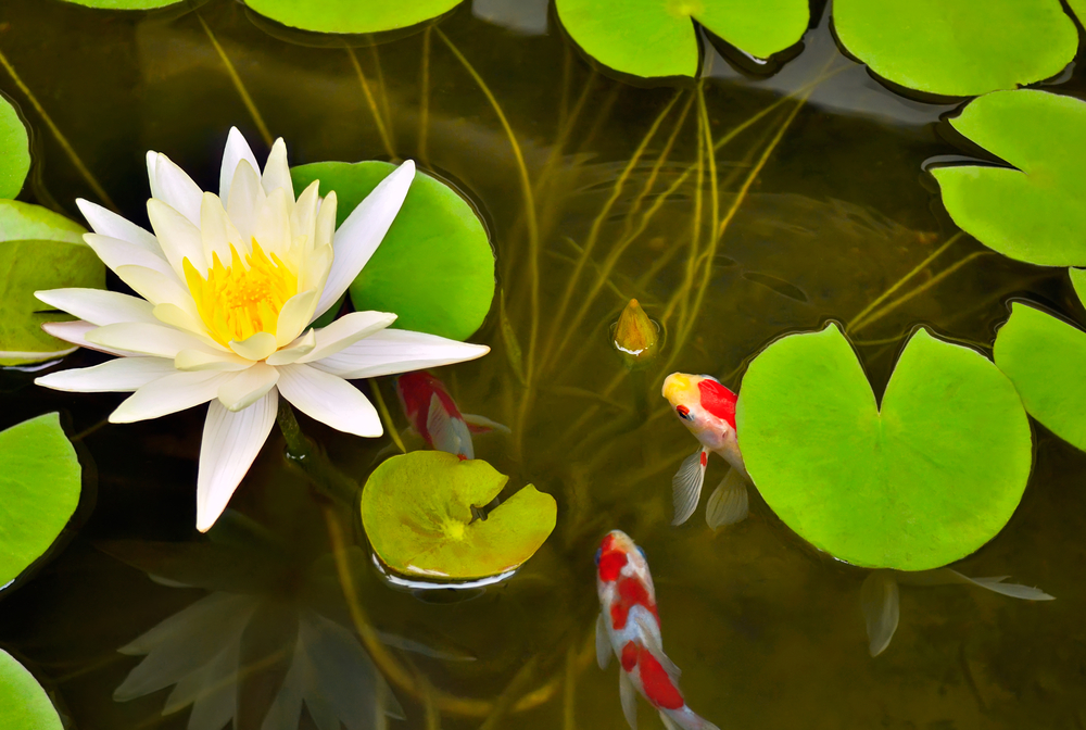 The Best Fish for your Outdoor Pond