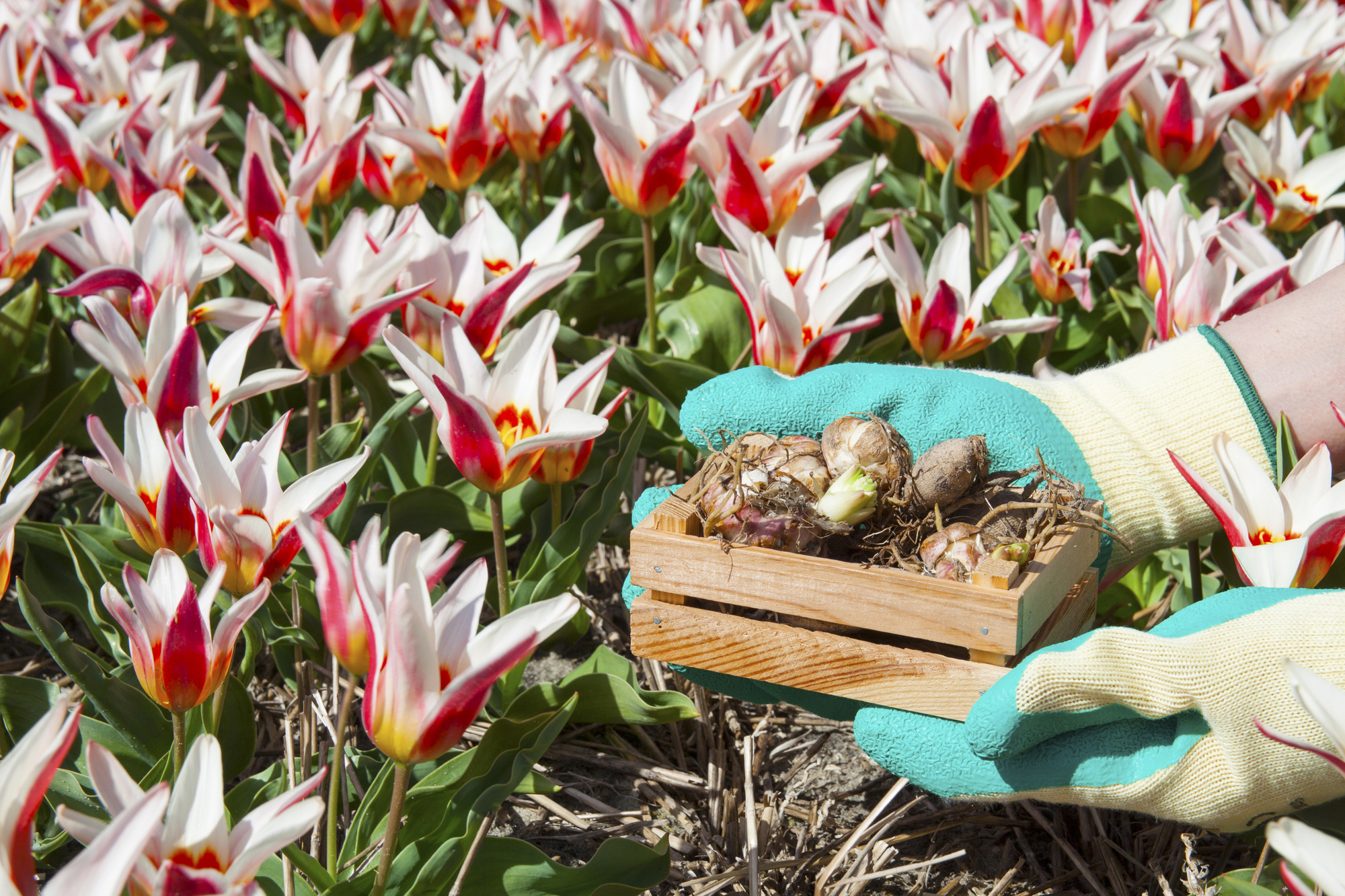 How to Care for Bulbs