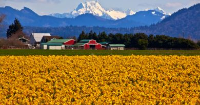Mount Shuksan Red Farm Builiding Yellow Daffodils Flowers Snow Mountain Skagit Valley Washington State Pacific Northwest