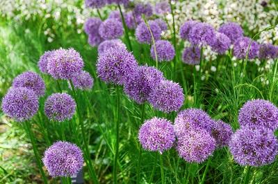Allium flowers for spring color seattle